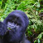 rwanda gorilla