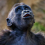 Photo of the Week – A Baby Gorilla