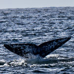 Whale Watching In San Diego – The Good & Bad