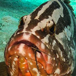 Nassau Grouper Dines on Lobster