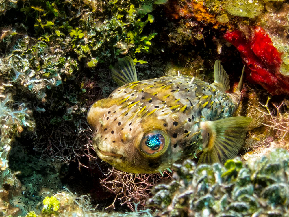 16 underwater photos diving the belize barrier reef for Pictures of puffer fish