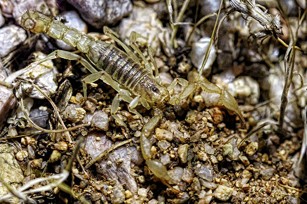 Giant Hairy Scorpion