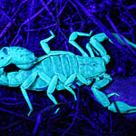 A Desert Safari – Stalking Glow in the Dark Scorpions