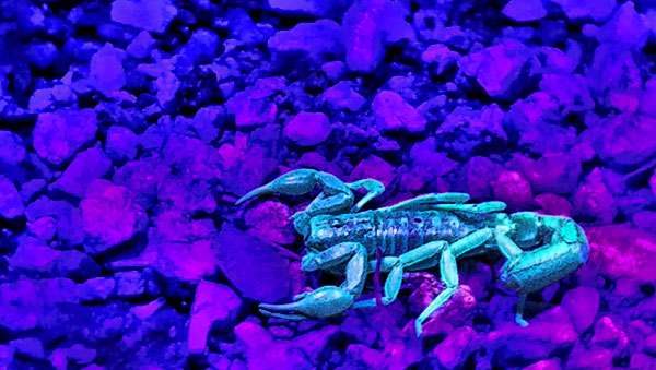 Glow in the dark scorpion