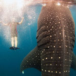 Swimming With Enormous Whale Sharks in Cancun, Mexico!