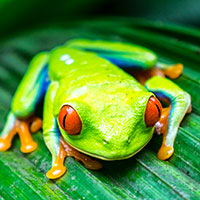 The Search for Costa Rica's Most Dazzling Frogs